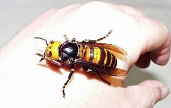 Japanese Giant Hornet